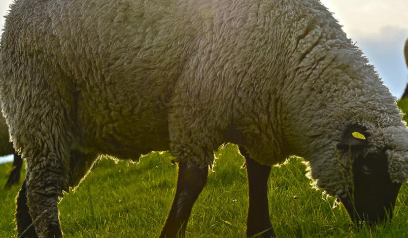 Schafe auf dem Deich, © Beate Ulich / Die Nordsee GmbH