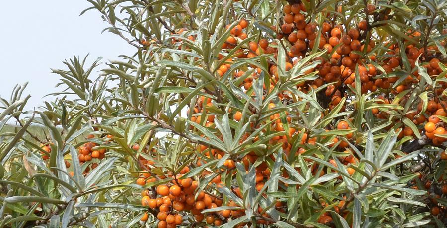 Die leuchtend orangen Früchte liefern wertvolle Vitamine und Mineralstoffe und werden im November geerntet., © Beate Ulich/Die Nordsee GmbH