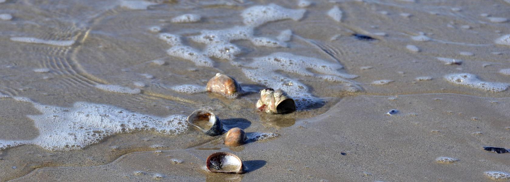 Muscheln im Watt, © Beate Ulich
