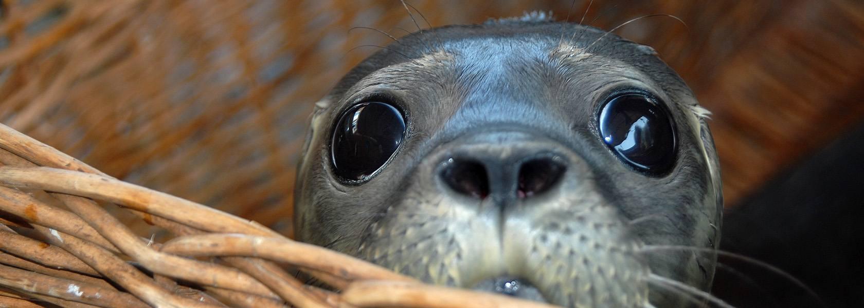 Fiete wird gewogen, © Seehundstation Norddeich