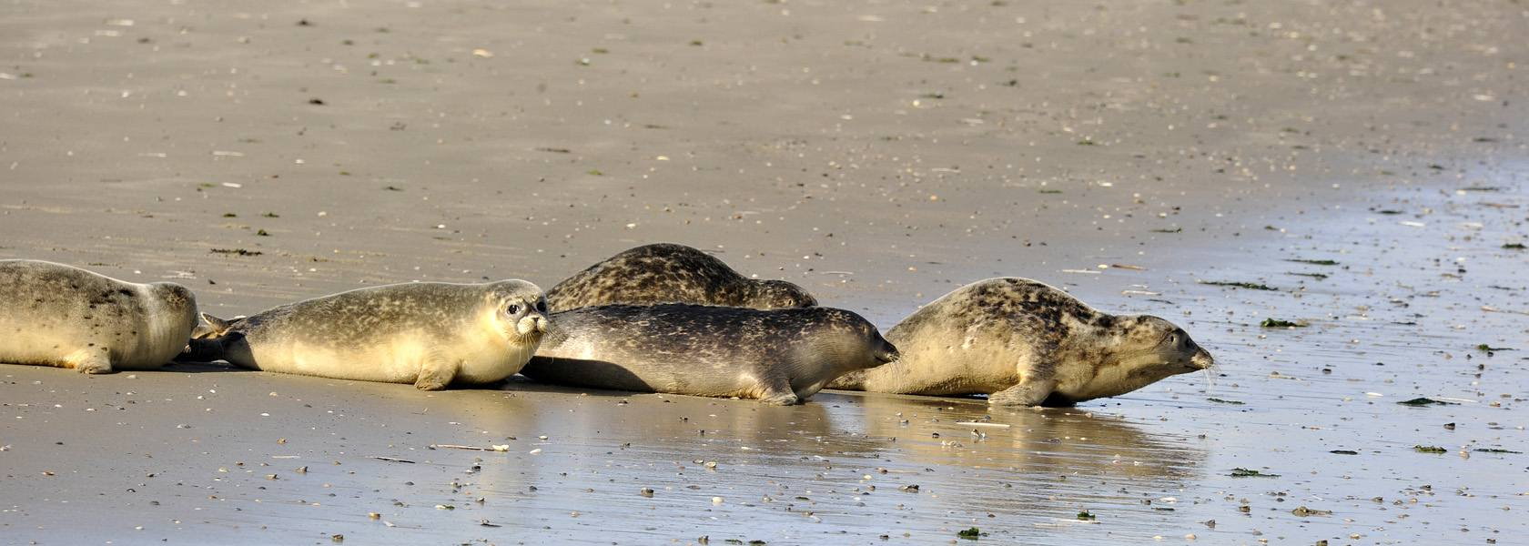 Seehunde auf der Sandbank, © Beate Ulich / Die Nordsee GmbH