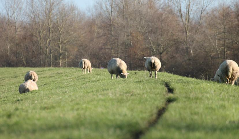 Schafe auf dem Deich, © Die Nordsee GmbH, Anke Hieronymus