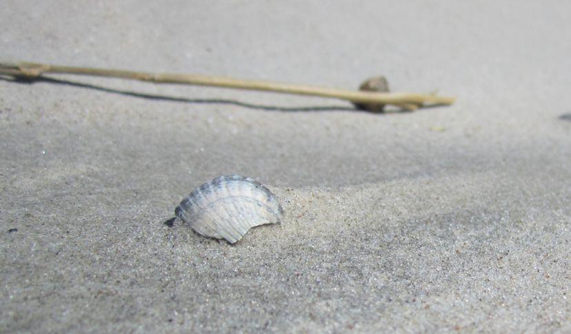 Muschel im Sand, © Die Nordsee GmbH, Jantje Olchers