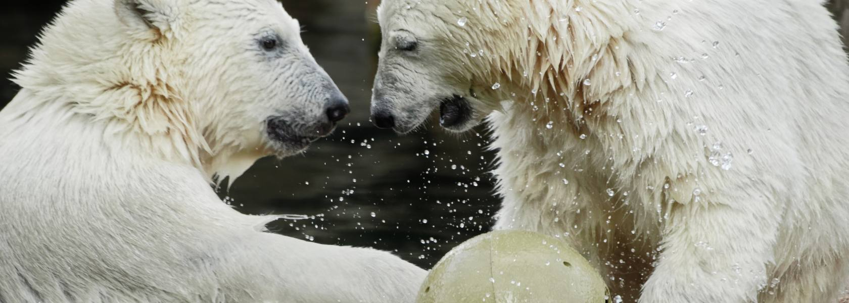 Eisbären Anna & Elsa, © Bernd Ohlthaver/Zoo am Meer Bremerhaven